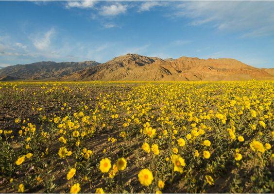 Death Valley spring bloom